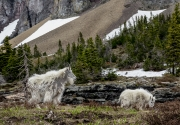 Nanny mountain goat and her kid in Glacier National Park.